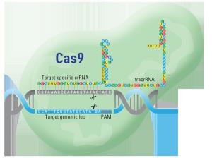 crispr-cas9-CO013130